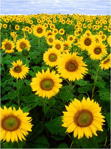 Sunflower Fields Canvas Print 12x16