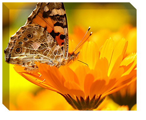 Butterfly on a Flower Canvas Print 20x16