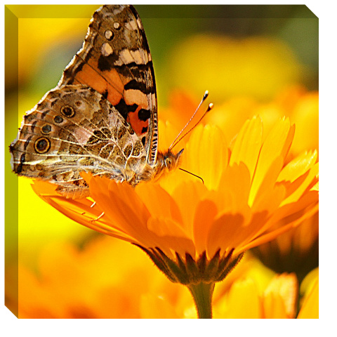 Butterfly on a Flower Canvas Print 24x24
