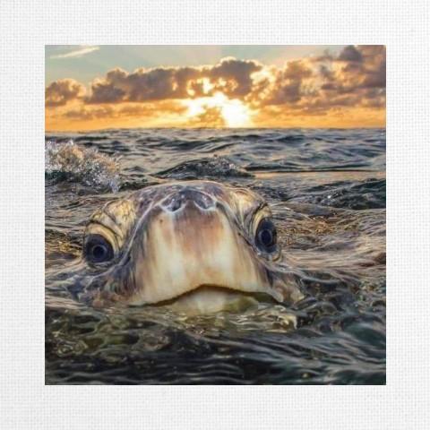 Save The Turtle Canvas Print 12x12